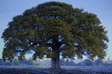 The Great Oak Sleeps in the Acorn